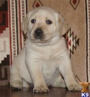 labrador retriever puppy posted by Forrest125