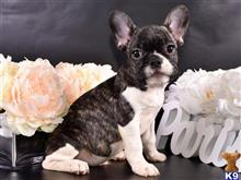 french bulldog puppy posted by French Passion