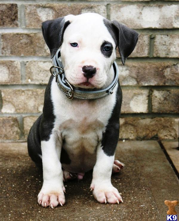 American Pit Bull Puppy For Sale Ice Rare White Head