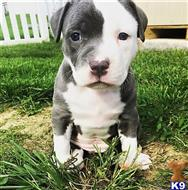 american pit bull puppy posted by GIOVANNI