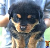 rottweiler puppy posted by Geage745