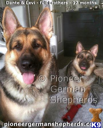 GiantGSDs Picture 2
