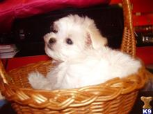 maltese puppy for sale in illinois maltese puppies for sale in illinois 8706