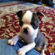 boston terrier puppy posted by Glenda Waller