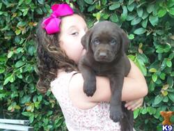 labrador retriever puppy posted by Gloriainexcelsis