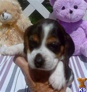 beagle puppy posted by Grannys Treasures