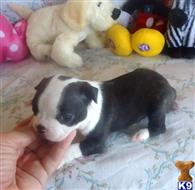boston terrier puppy posted by Grannys Treasures