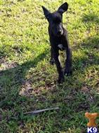 great dane puppy posted by GreatDanes4u