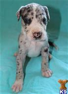 great dane puppy posted by Greatdanestolove