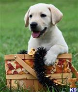 labrador retriever puppy posted by Griffinsburg English Labradors