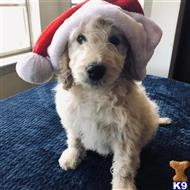 goldendoodles puppy posted by GroodleDoodleRanch