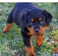 rottweiler puppy posted by Guruh7845