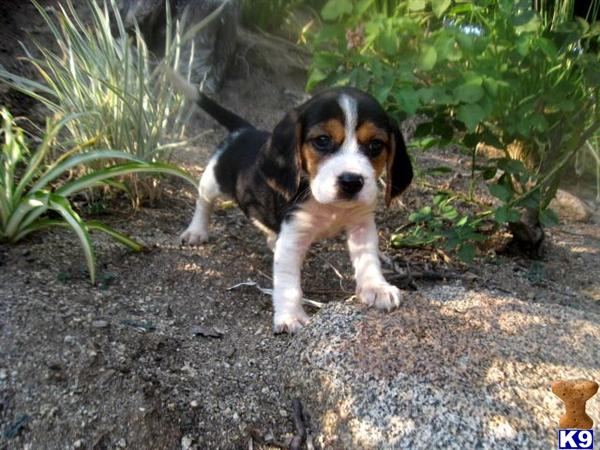 Beagle Puppy For Sale Akc Beagles 8 Years Old