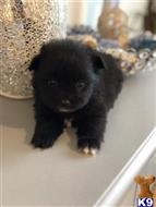 pomeranian puppy posted by Happypoms