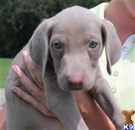 weimaraner puppy posted by Havencrest Gundogs