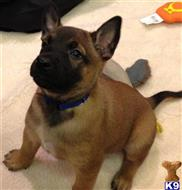 belgian malinois puppy posted by Heather1511