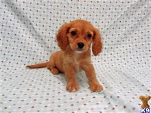 cavalier king charles spaniel puppy posted by Heather296