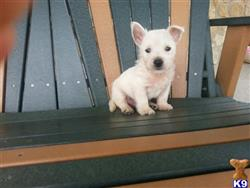 west highland white terrier puppy posted by Heather296