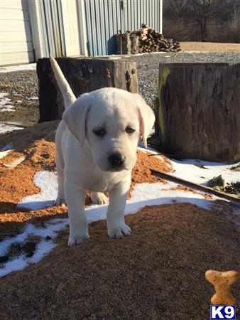 labrador retriever puppy posted by Heritage Labradors