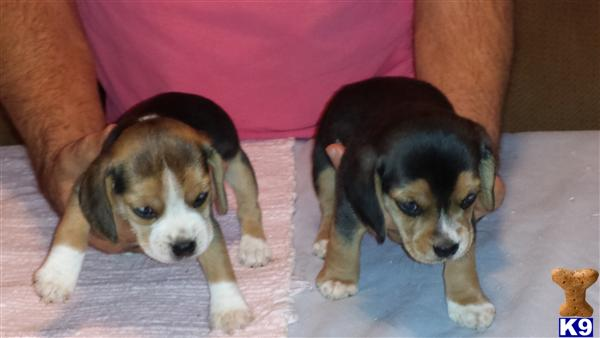 beagle puppy posted by HighPinesBeagles