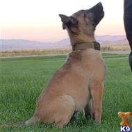 belgian malinois puppy posted by Highlander Bluff K9