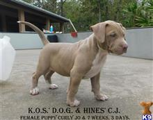 american pit bull puppy posted by Hinessurvey