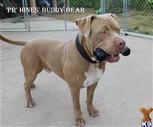 American Pit Bull Stud Dogs in Florida
