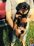 rottweiler puppy posted by Hopeking