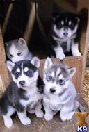 siberian husky puppy posted by Huntington Creek Siberian Huskies