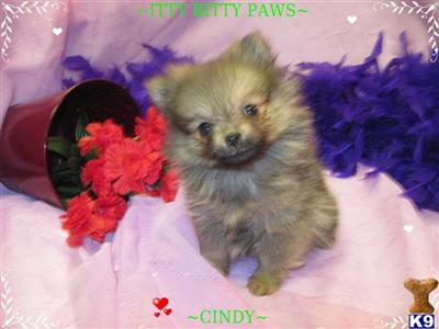 wolf sable pomeranian for sale pomeranian puppy for sale teacup pomeranian wolf sable 9470