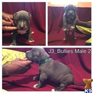 american pit bull puppy posted by J3bullies