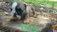 english bulldog puppy posted by JK1988