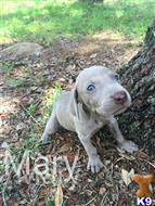 weimaraner puppy posted by JK1988