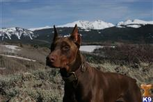 Doberman Pinscher Stud Dogs in Texas