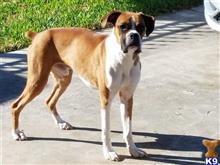 Boxer Stud Dogs in Texas