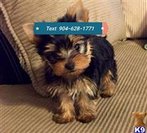 yorkshire terrier puppy posted by Jack12