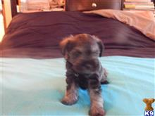 miniature schnauzer puppy posted by Jacob239