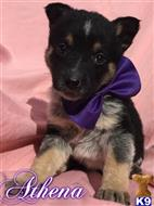 german shepherd puppy posted by JadePuppies