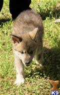 wolf dog puppy posted by Janelle Gourley
