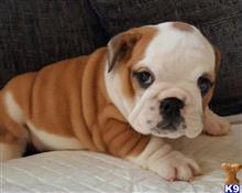 french bulldog puppy posted by Jessica reynolds