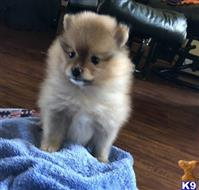pomeranian puppy posted by Jessica reynolds