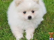 pomeranian puppy posted by Jessica2000