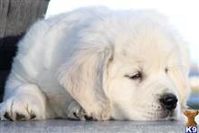 golden retriever puppy posted by Jgraber
