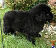 newfoundland puppy posted by JohnFleming2019