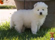 samoyed puppy posted by JohnFleming2019