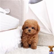 Orange Ca 92707 Maltipoo Puppy Posted By Jordanlove0516