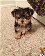 yorkshire terrier puppy posted by Jordanlove0516