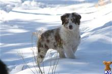 australian shepherd puppy posted by Joyce Brittingham