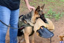 german shepherd puppy posted by Judy Smithson