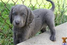 weimaraner puppy posted by JudyandAudrey